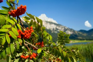 Mountain ash in the Alps.
