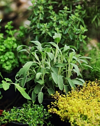 Sage, Rosemary & Thyme cropped