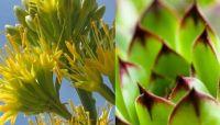 Agave Cactus Blossom 200x114